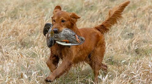 Golden Retriever Retrieving a Duck