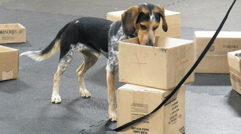 Beagle Searching with his Nose