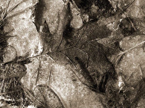 Daniel Heikalo 600  Feuille de chêne