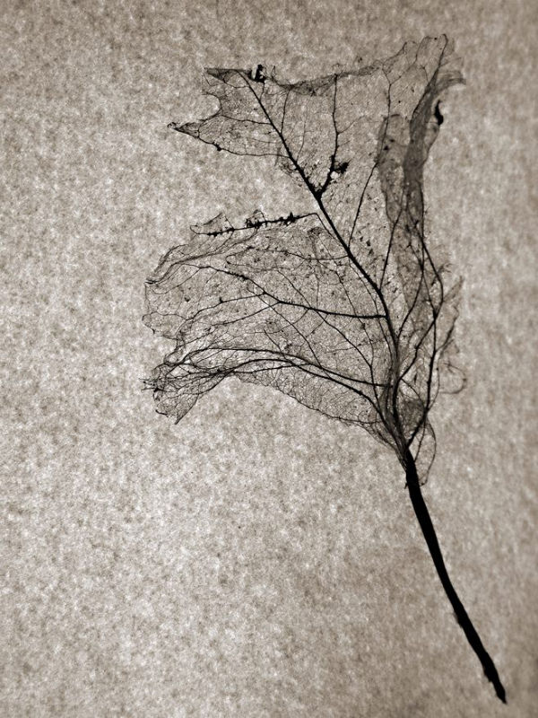 Squelette de feuille | Daniel Heikalo