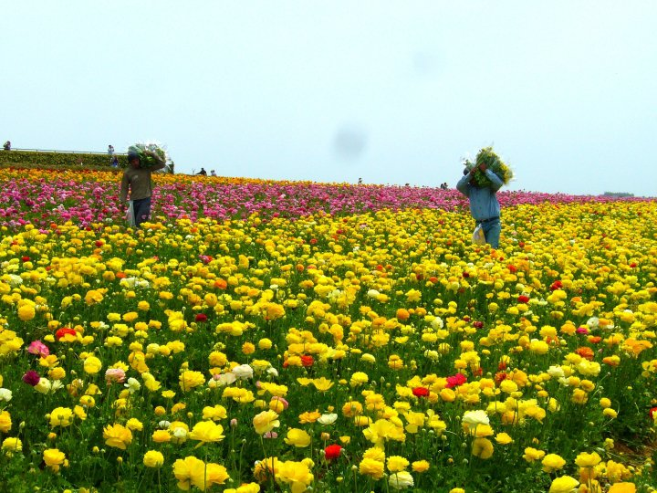 The flower fields of Carlsbad, California