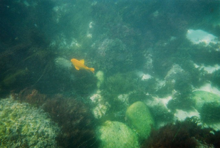 Garibaldi, the state fish of California. Snapped at Boomers Beach, La Jolla.