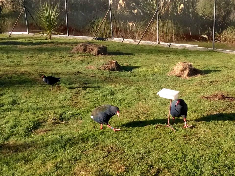 Takahe