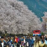 Your Cheat Sheet to Seeing Cherry Blossoms in Busan Without the Crowds