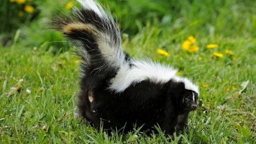 get rid of skunks in your yard