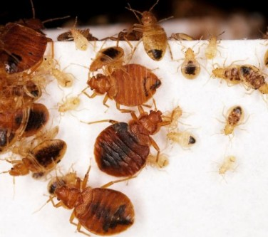 get rid of bed bugs fast and naturally