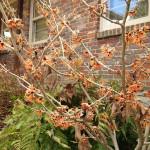 'Jelena' Witch Hazel in full bloom!