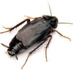 oriental cockroach control