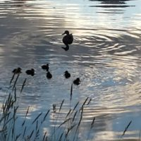 Tetons Ducklings Reflections