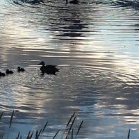 Duck-Family_Tetons