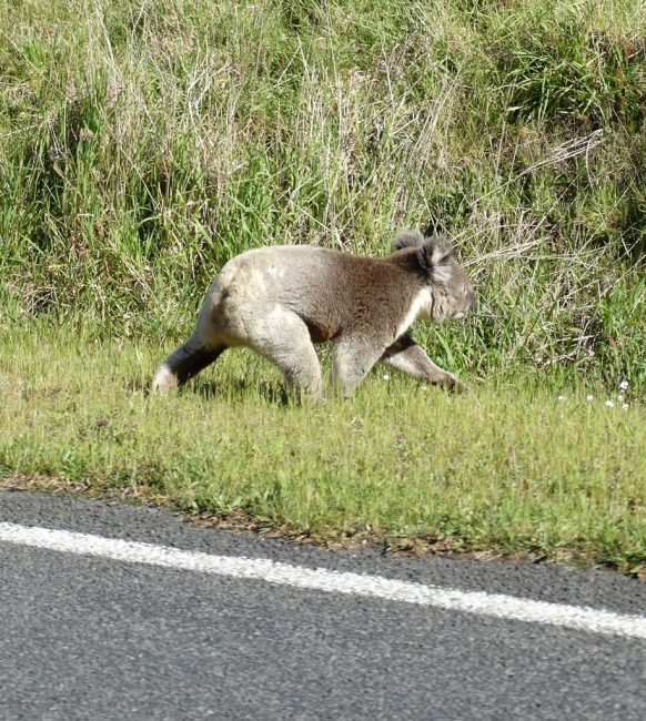 Drop bear highway patrol - on the way from Apollo Bay into the Great Otway National Park