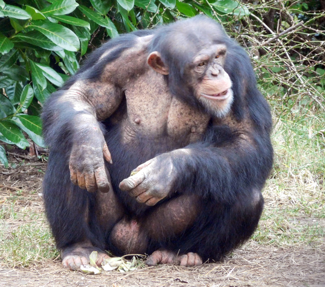 Chester Zoo Chimp