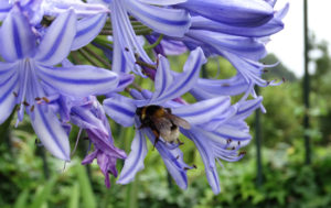 Blooming blue and white agapanthus plants made for some gorgeous hedges that helpfully hid the plunging descent on the other side