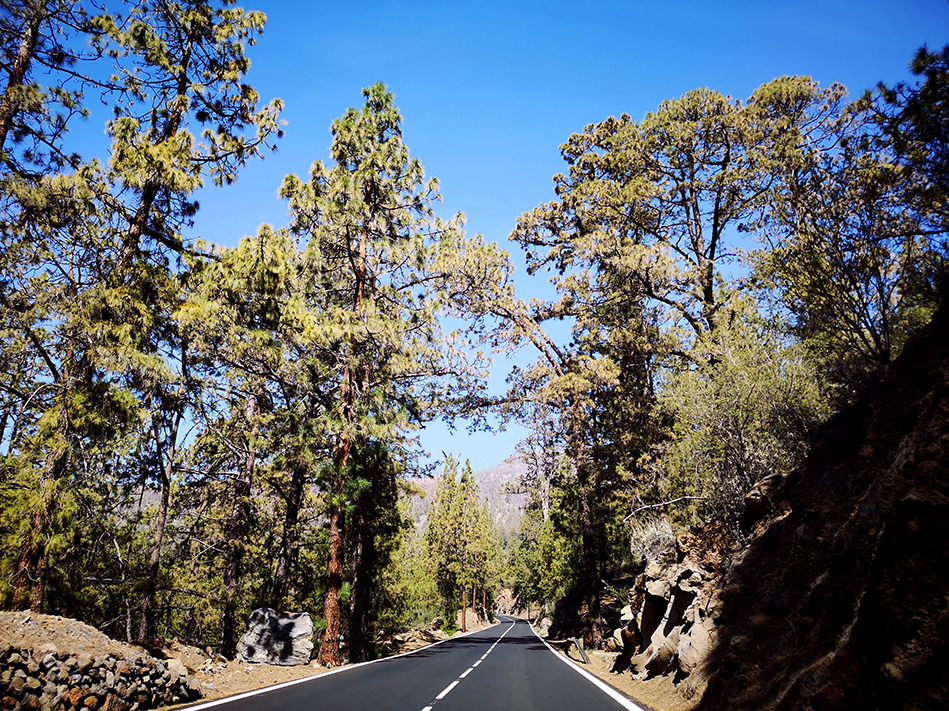 Pine forests lined the road at certain altitudes on the road trip up to El Tiede National Park