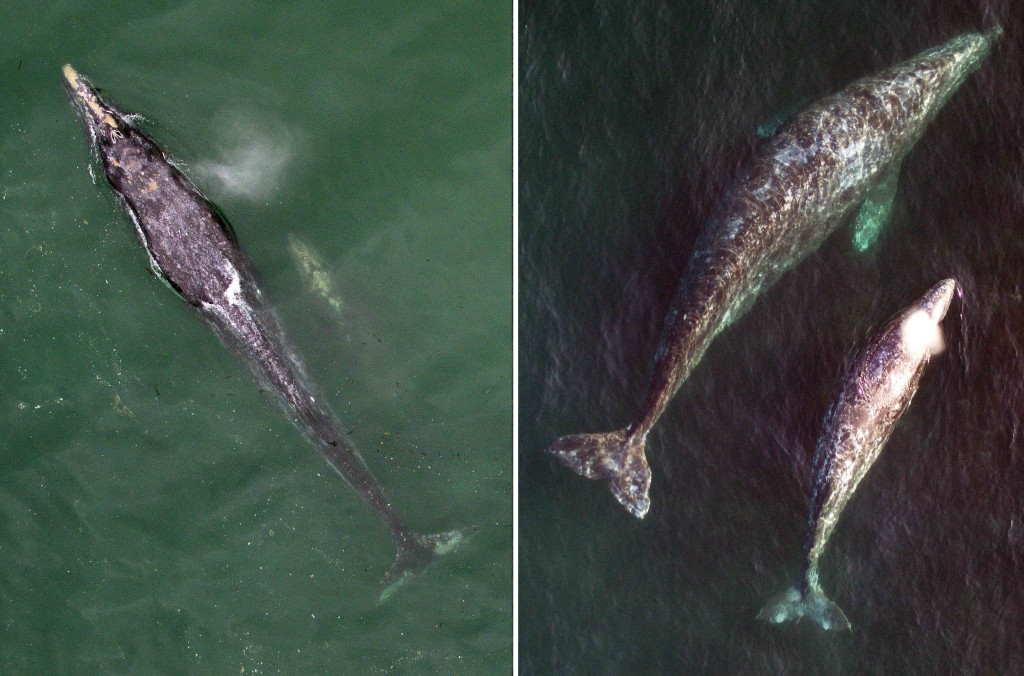 The image on the left shows a very skinny female gray whale and her calf just visible beneath the water's surface. This whale may or may not have sufficient energy reserves to make it thousands of miles to the Arctic while also nursing her calf. In contrast, the female on the right is quite robust, and has a high likelihood of successfully rearing her calf. Scientists are using an unmanned aerial vehicle to produce very precise overhead images of gray whales, then analyzing the images to understand how environmental conditions affect the health of adult females and ultimately the reproductive success of the population. Photo and Caption Text Credit: NOAA