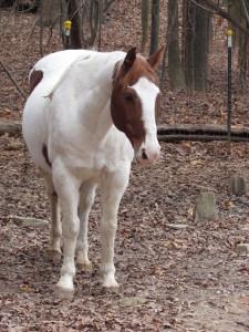School Horse-Saint Petey