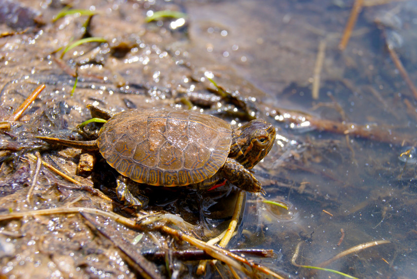 Small turtle near water