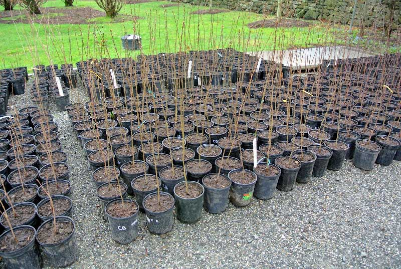 JLPN - wholesale producer of bare root and container grown, fruit and ornamental bare root deciduous shade tree seedlings, cultivar rooted cuttings, grafting and budding under stock.