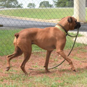 Side view of Leo carrying his own leash