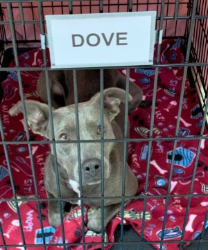 Dove in crate feet tucked under