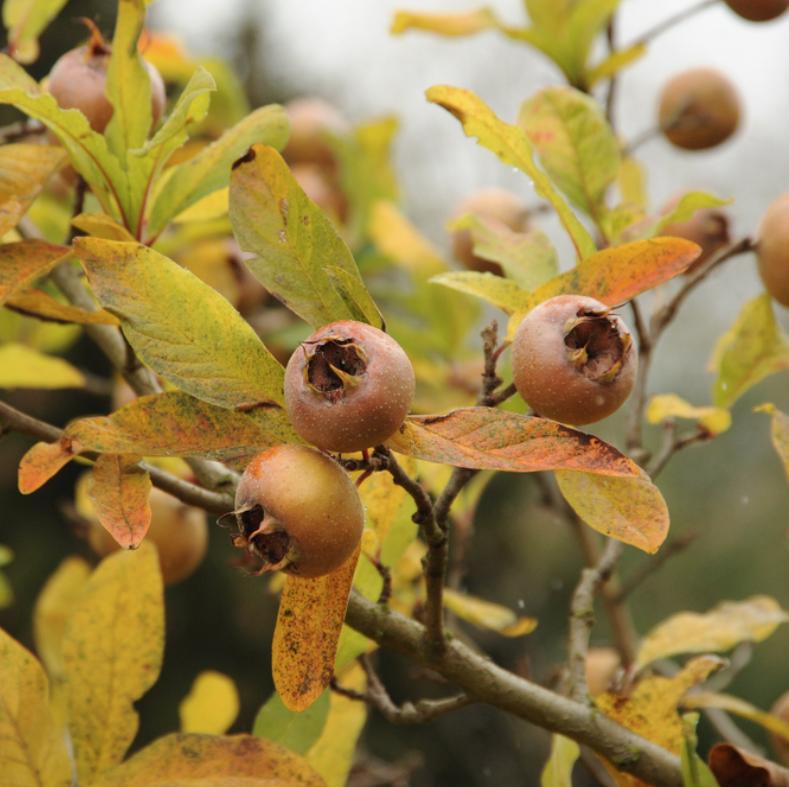 photo of medlar tree