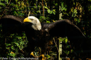 The eagle even spread his wings for me