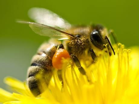 Honey bees, natures bee pollen extractors and pollenators