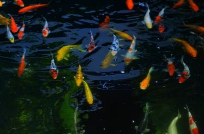 """""""Fancy Carp Fish"""" by holohololand /FreeDigitalPhotos.net"""