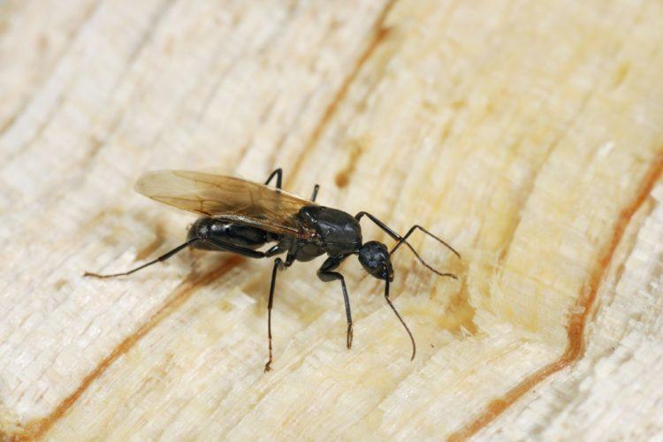 Carpenter Ants VS Termites