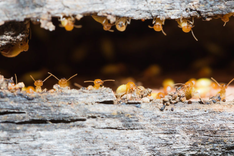 Will Your Homeowner's Insurance Protect You from Termites?