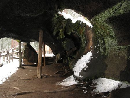 Snow falling through fallen sequoia in Grant Grove