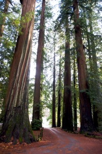 redwood trees in california