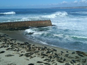 seals and shorebreak at la jolla cove