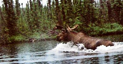 Hawkrock river Moose