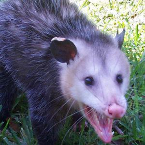 Opossum Removal Charleston SC