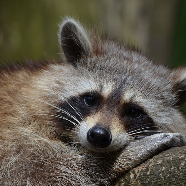 Raccoon Removal by Williams Wildlife Removal Charleston SC