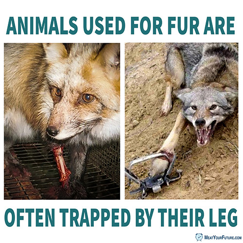 Animals Used For Fur Trapped by Their Leg | Meat Your Future