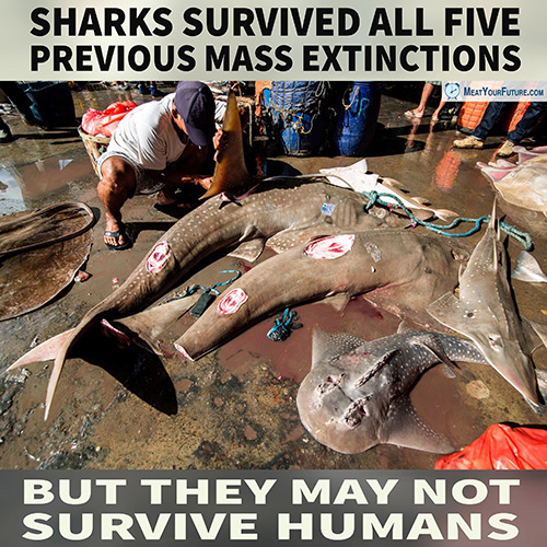 Sharks Surivved Five Mass Exintctions But May Not Survive Humans   Meat Your Future