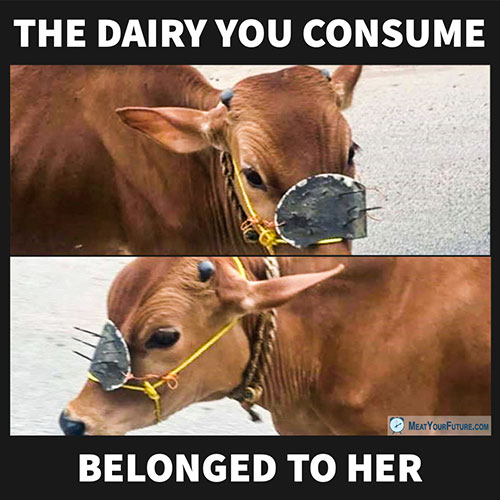 The Dairy You Consume Belong to Her | Meat Your Future