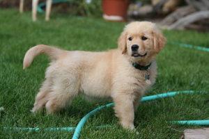 512px-Golden_Retriever_puppy_standing