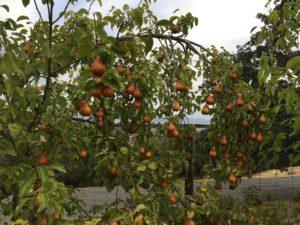 pear-tree-beth-beurkens