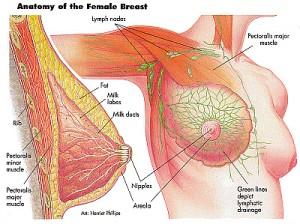 Mammary Glands (Breast) 2