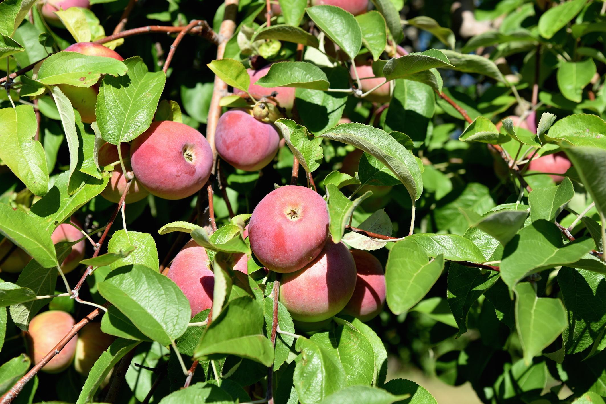 Un automne à New York, la cueillette des pommes