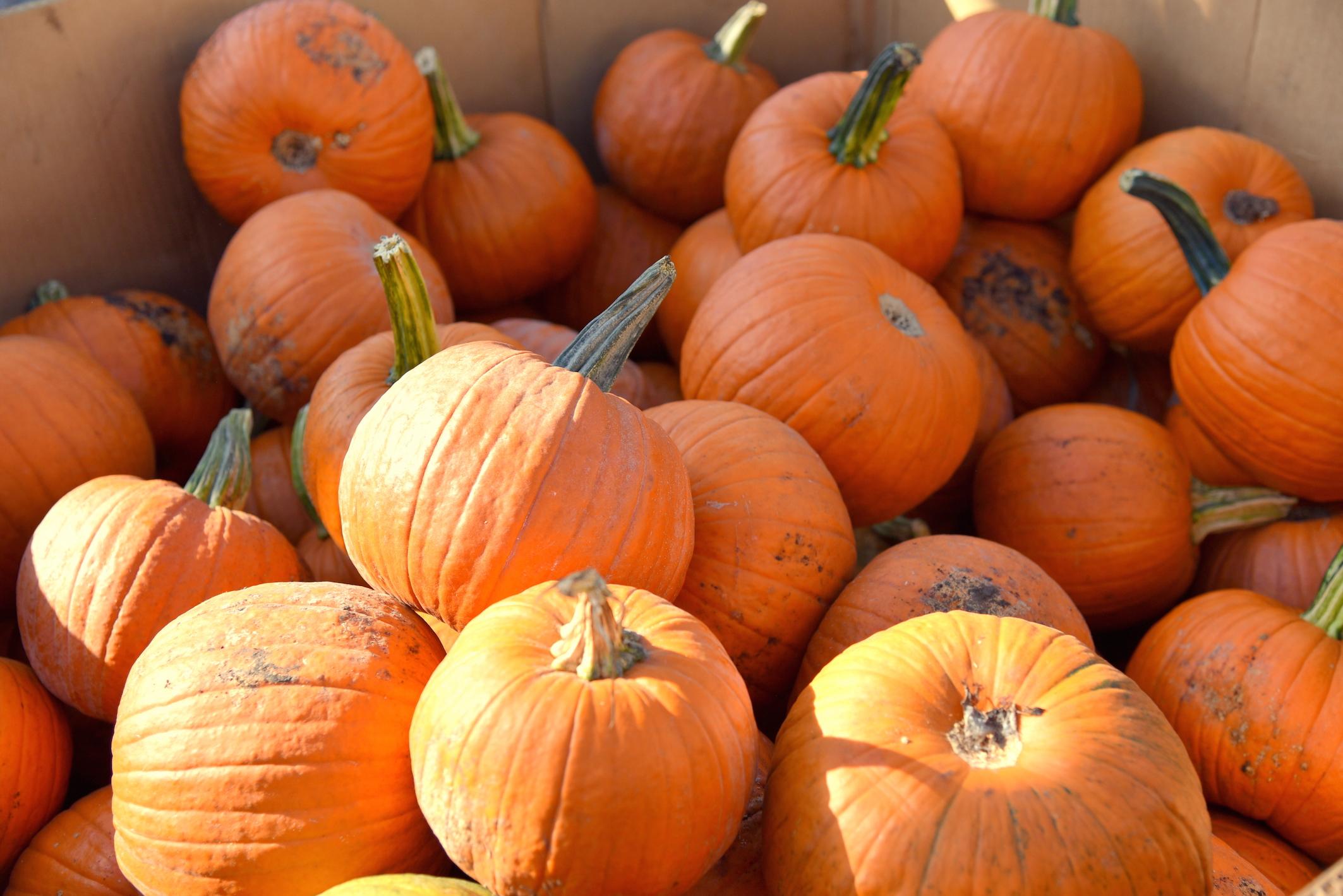 Pumpkin picking in New York Fall 2016
