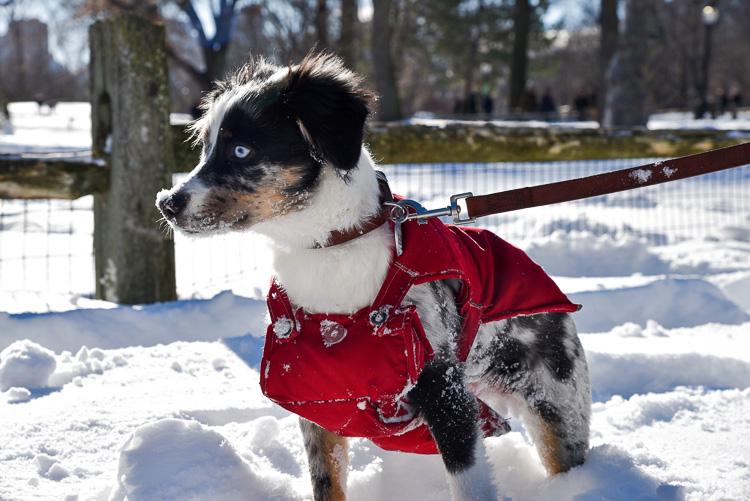 Avoir un chien à New York Berger Australien