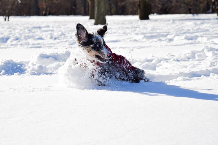 Mini aussie in the snow Central Park New York Mybigapplecity