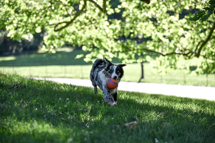 Mini Aussie in Central Park NYC blogger mybigapplecity