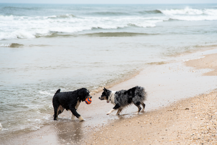 Fire Island Puppy playing on the beach in New York