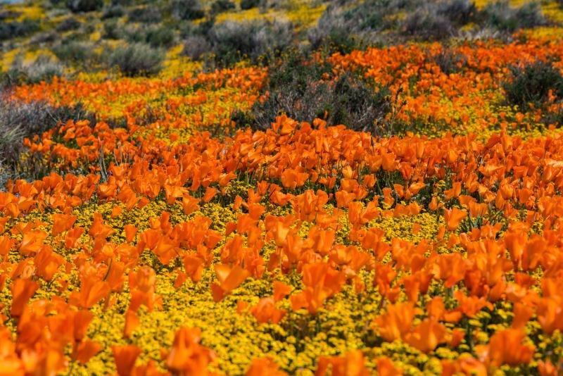 California - Antelope Valley Poppy Preserve