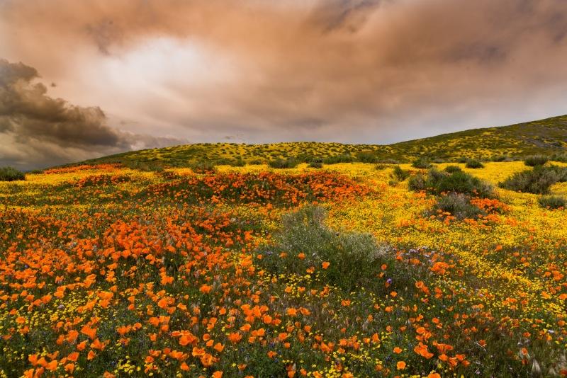California -Antelope Valley Poppy Preserve